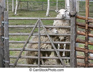 sheep, escapar