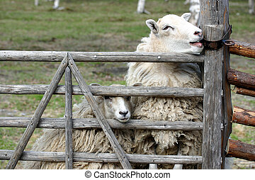 sheep, escape