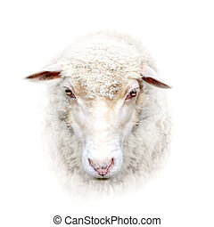 sheep face on white