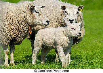 sheep, familia