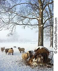 Sheep farming in winter - England