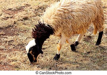 Sheep farms