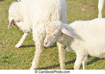sheep, fazenda