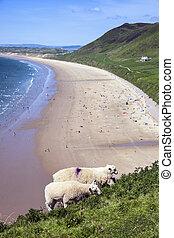 Sheep feeding at Rhossili Bay Rhossili on the Gower Peninsular West Glamorgan Wales UK a popular Welsh coastline travel destination