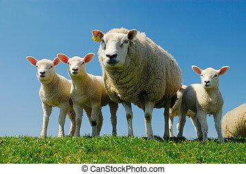 sheep, fjäder