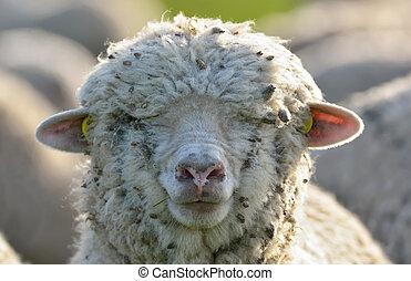 sheep, fjäder, fält