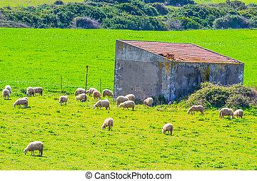 sheep, fjäder, flock