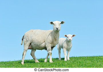 sheep, fjäder, lamm, henne, mor