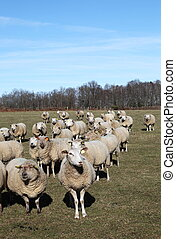 Sheep Flock
