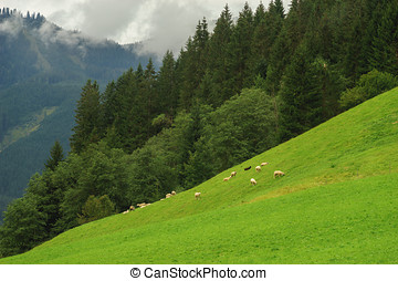 Sheep flock grazing on the slope pasture