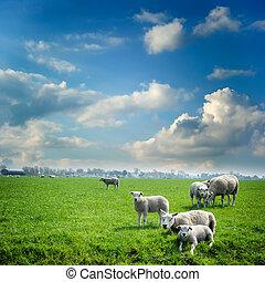 sheep, flock, hos, gröna gärde