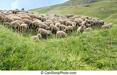 sheep flock in meadow