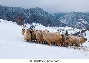 Sheep Flock in Mountain, in Winter