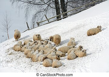 Sheep Flock in Mountain