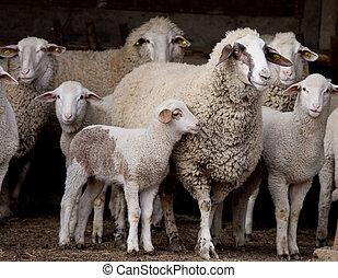 Sheep flock on farm