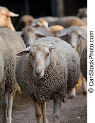 Sheep flock on ranch