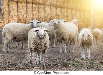 Sheep flock on the farm