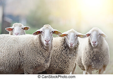 Sheep flock standing on farmland - Group of sheep and ram ...