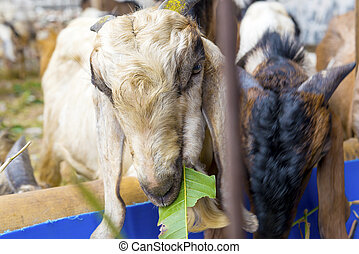 Sheep for slaughter to celebrate Eid Adha