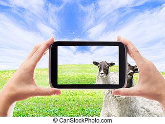 sheep, fotografia, wziąć