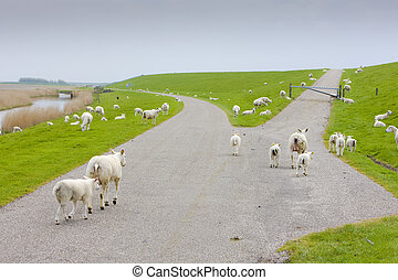 sheep, Friesland, Netherlands