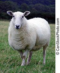 Sheep - Full length portrait of a sheep