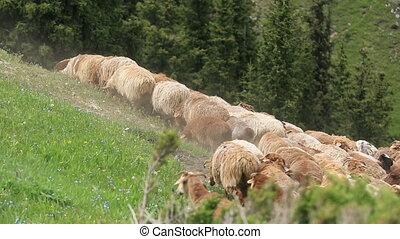 sheep, góra, pieszy, grupa, ciągnąć