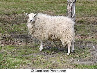sheep, grande