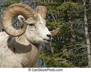 sheep, grande, ariete, corno, chiudere