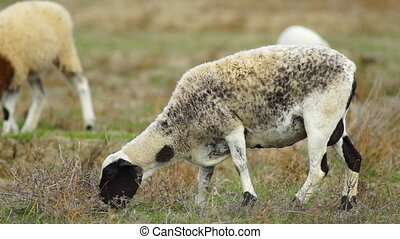 Sheep move along as the eat grass and plants