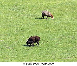 Sheep graze in a meadow