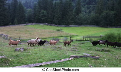 Sheep graze in a pasture in the mountains