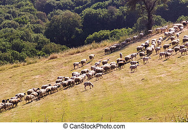 sheep graze in a row