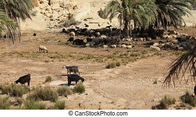 sheep graze in an oasis of the Tunisian desert under palm...