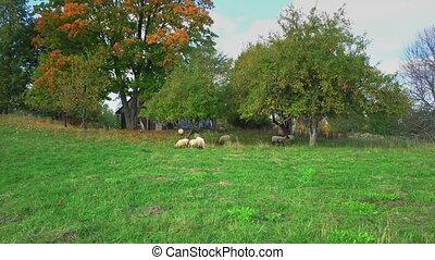 Sheep graze in the meadow near to the apple trees