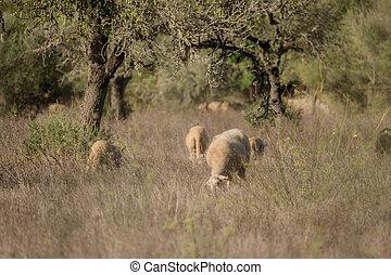 Sheep graze on a field in Spain