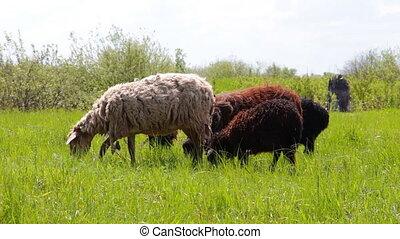 Sheep graze on meadow - Sheep graze on a green meadow 10