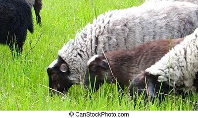 Sheep graze on meadow - Sheep graze on a green meadow 6