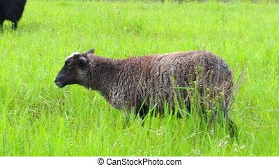 Sheep graze on meadow - Sheep graze on a green meadow 9