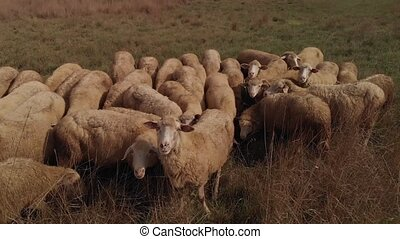 Sheep grazes at the field