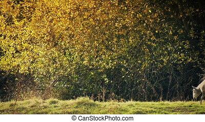 Sheep Grazes Near Tree In Golden Sunlight