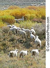 Sheep Grazing a Hillside