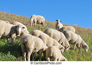 Sheep grazing a hillside - Sheep grazing grass on a mountain...