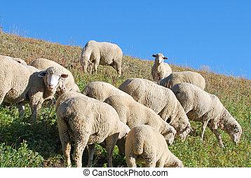 Sheep grazing grass on a mountain hillsdie.