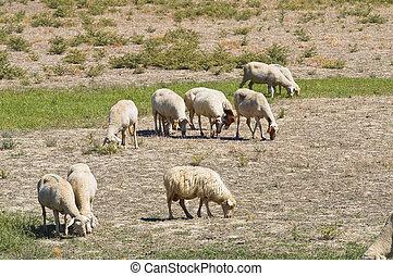 sheep, grazing.