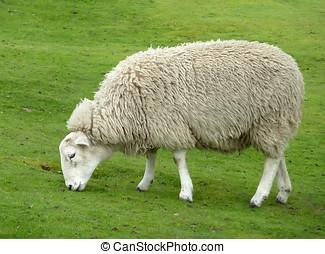 Sheep grazing - Close up of sheep grazing on grass