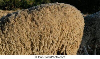 Sheep Grazing Field videos