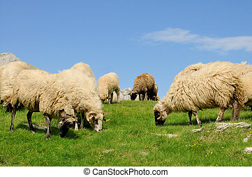 Sheep grazing grass on mountain