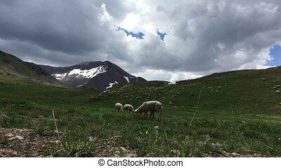 Sheep Grazing high in the Colorado Mountains - Livestock...