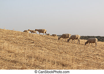 Sheep grazing in a dry cereal field in southern Andalusia Spain.